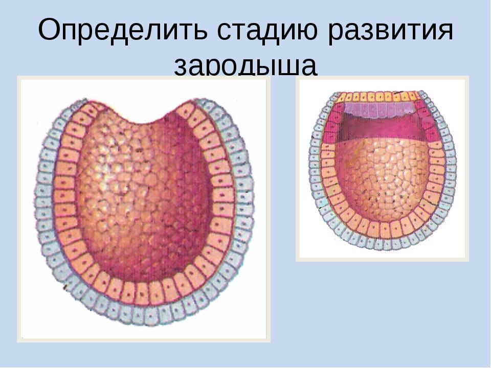 Определить стадию развития зародыша
