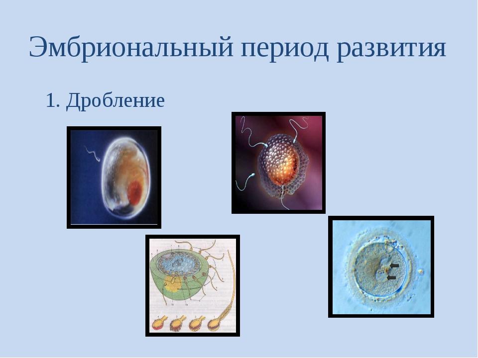 Эмбриональный период развития 1. Дробление