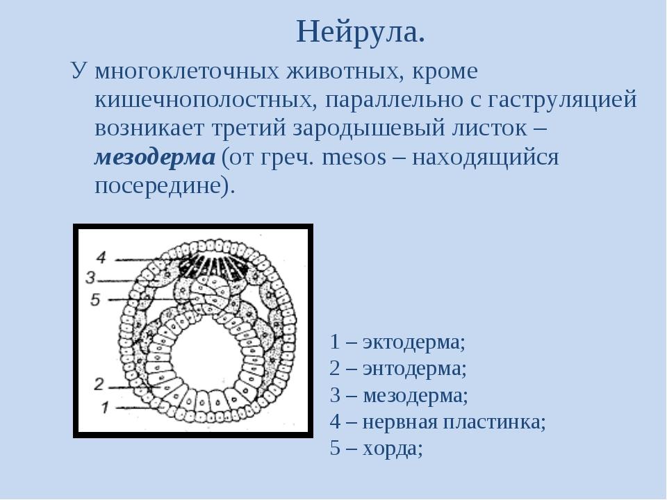 Нейрула. У многоклеточных животных, кроме кишечнополостных, параллельно с гас...