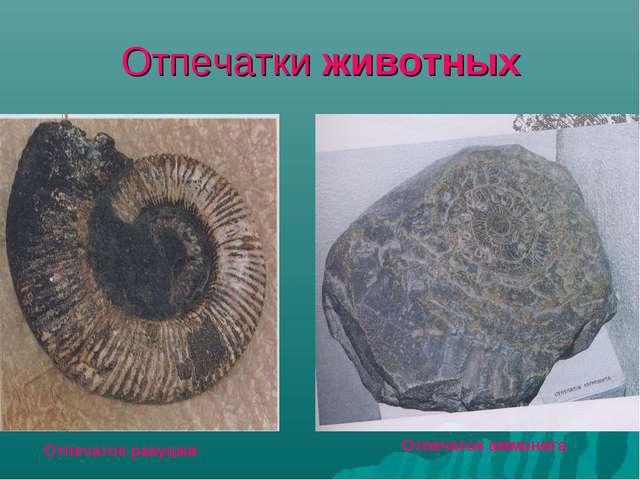Отпечатки животных Отпечаток аммонита Отпечаток ракушки