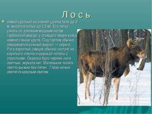Л о с ь самый крупный из оленей (длина тела до 3 м, высота в холке до 2,5 м).