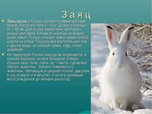 З а я ц Заяц-русак в России считается самым крупным видом. Масса его тела 4 –