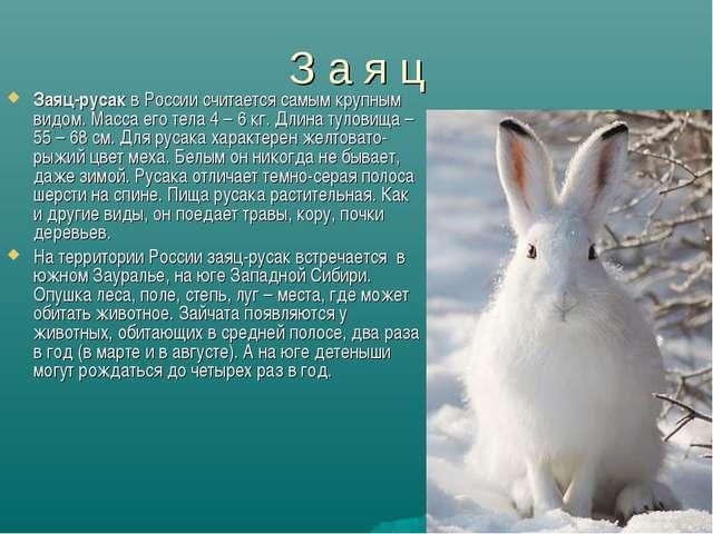 З а я ц Заяц-русак в России считается самым крупным видом. Масса его тела 4 –...