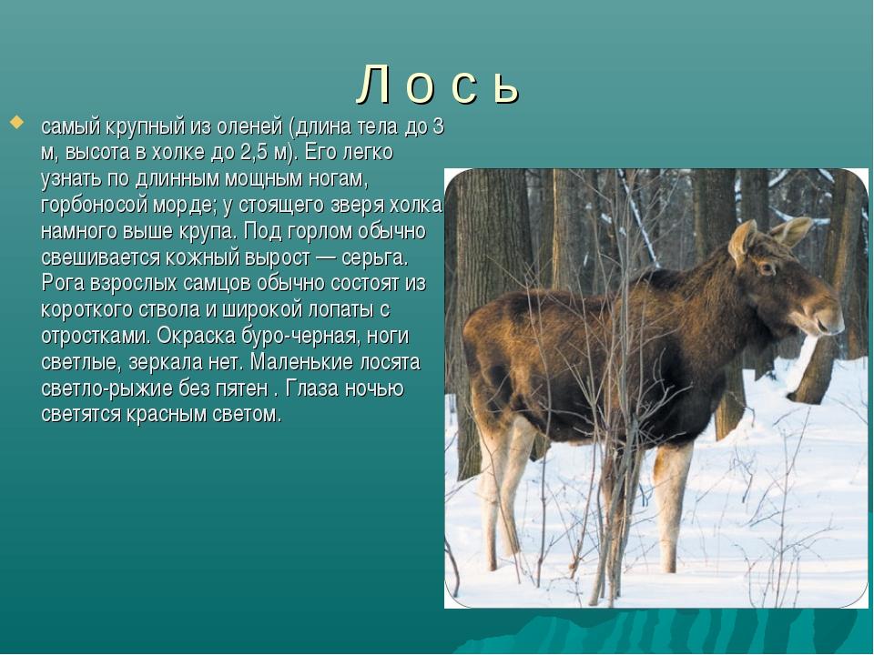 Л о с ь самый крупный из оленей (длина тела до 3 м, высота в холке до 2,5 м)....