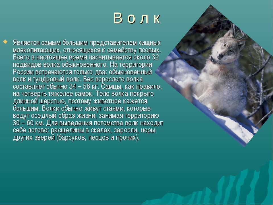 В о л к Является самым большим представителем хищных млекопитающих, относящих...