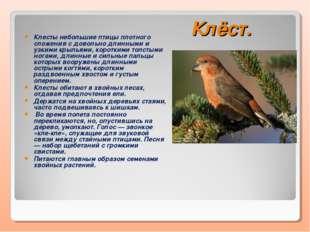 Клёст. Клесты небольшие птицы плотного сложения с довольно длинными и узкими
