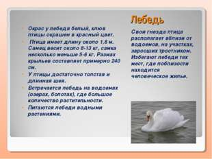 Лебедь Свои гнезда птица располагает вблизи от водоемов, на участках, заросши