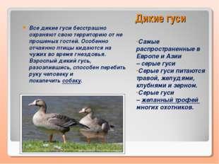 Дикие гуси Самые распространенные в Европе и Азии –серые гуси Серые гуси пит