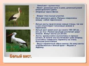 Белый аист. Белый аист – крупная птица. Имеет длинные ноги и шею, длинный узк