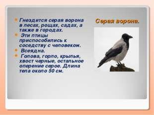 Серая ворона. Гнездится серая ворона в лесах, рощах, садах, а также в городах