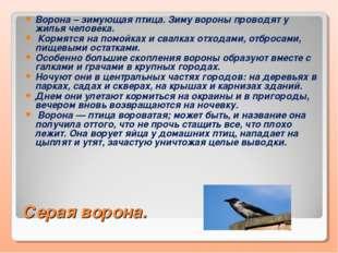 Серая ворона. Ворона – зимующая птица. Зиму вороны проводят у жилья человека.