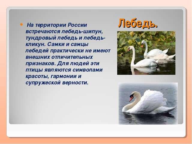Лебедь. На территории России встречаются лебедь-шипун, тундровый лебедь и леб...