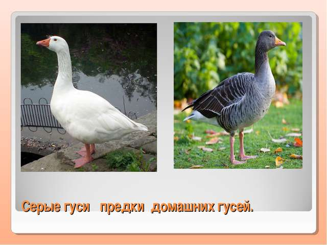 Серые гуси предки домашних гусей.