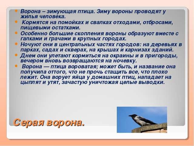 Серая ворона. Ворона – зимующая птица. Зиму вороны проводят у жилья человека....