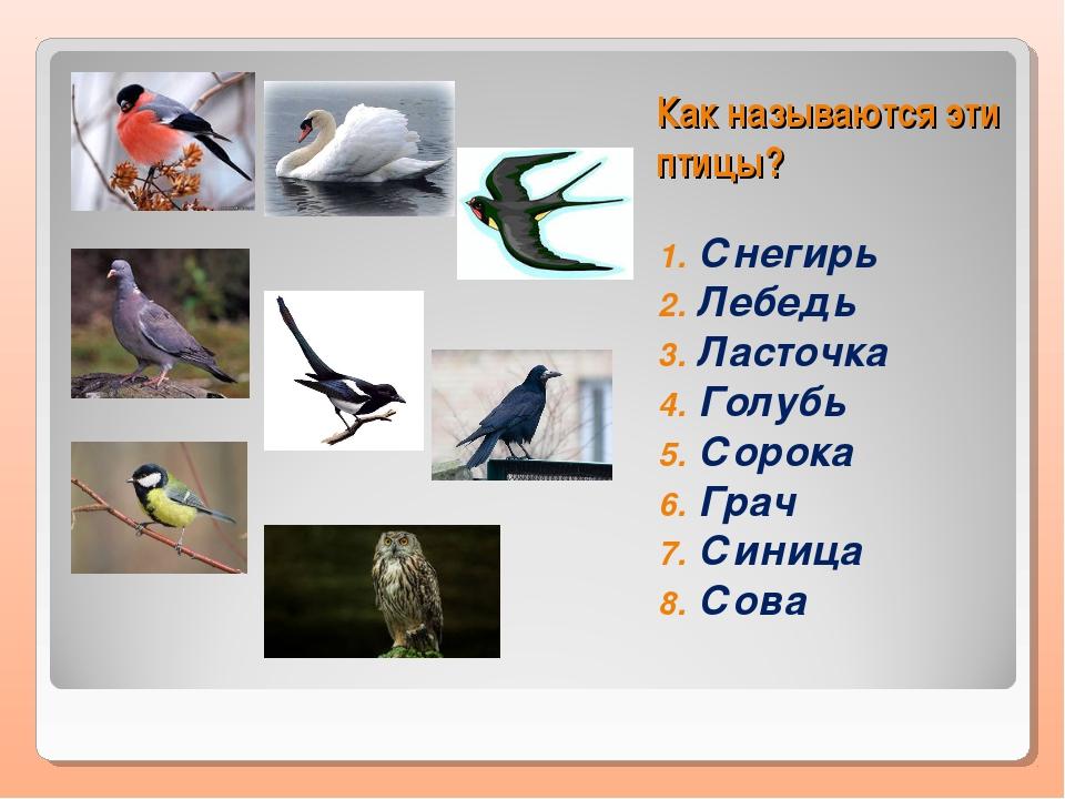 Как называются эти птицы? Снегирь Лебедь Ласточка Голубь Сорока Грач Синица...