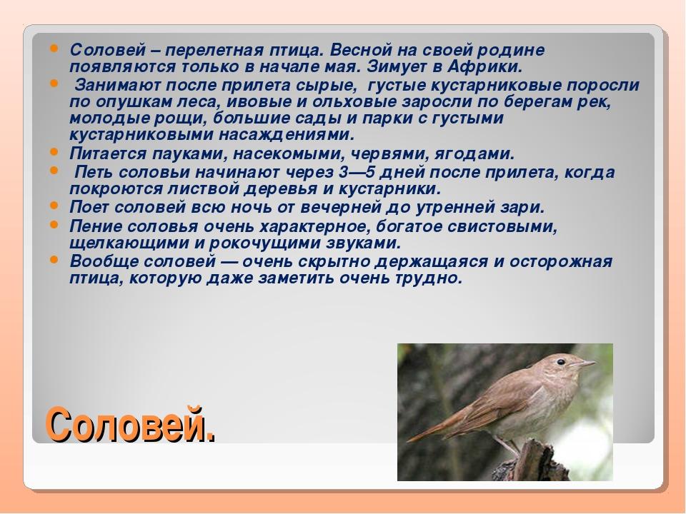 Соловей. Соловей – перелетная птица. Весной на своей родине появляются только...