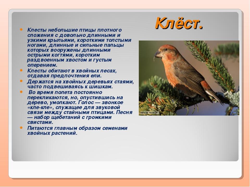 Клёст. Клесты небольшие птицы плотного сложения с довольно длинными и узкими...
