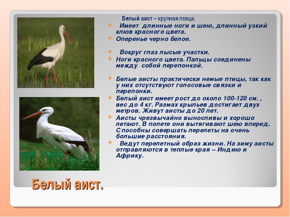 Белый аист. Белый аист – крупная птица. Имеет длинные ноги и шею, длинный узк...