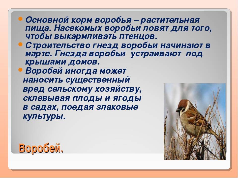 Воробей. Основной корм воробья – растительная пища. Насекомых воробьи ловят д...
