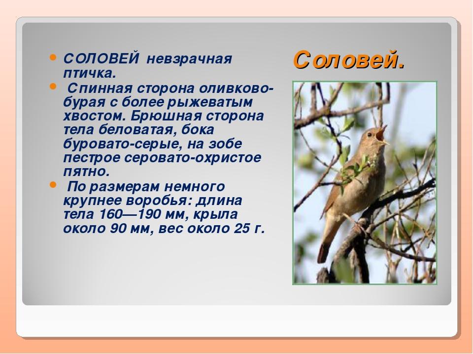 Соловей. СОЛОВЕЙ невзрачная птичка. Спинная сторона оливково-бурая с более ры...