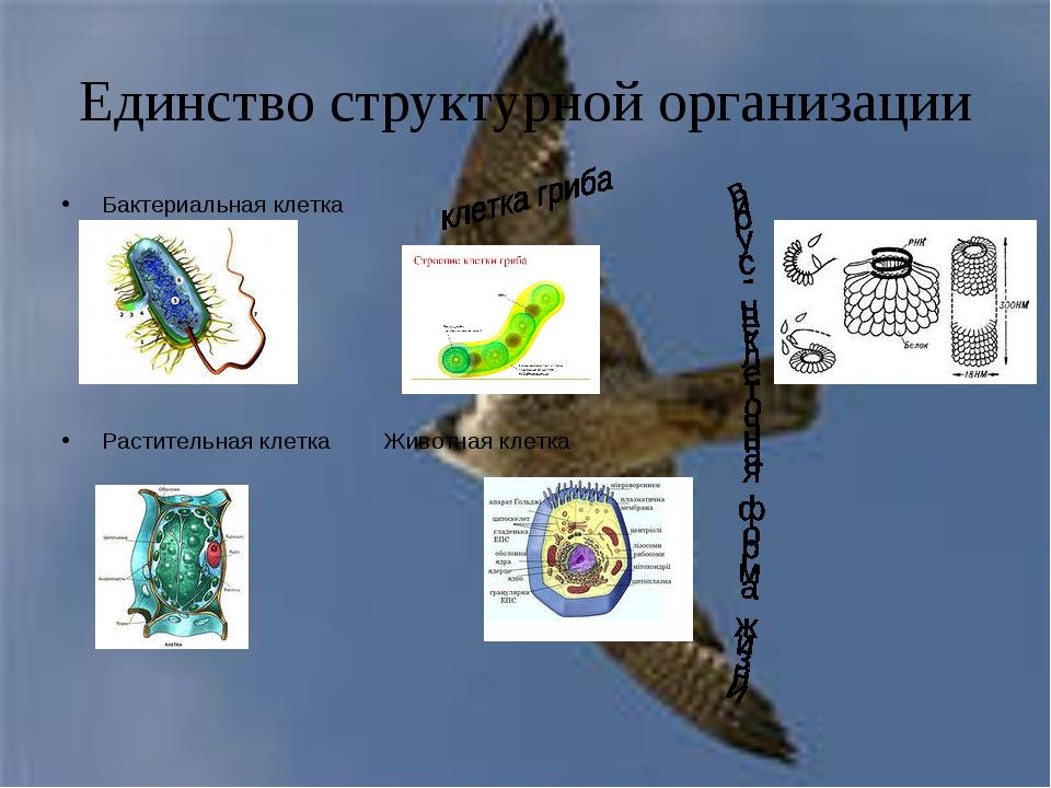 Единство структурной организации Бактериальная клетка Растительная клетка Жи...