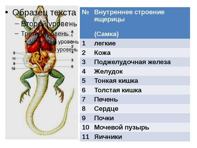 № Внутреннее строение ящерицы (Самка) 1 легкие 2 Кожа 3 Поджелудочная железа...