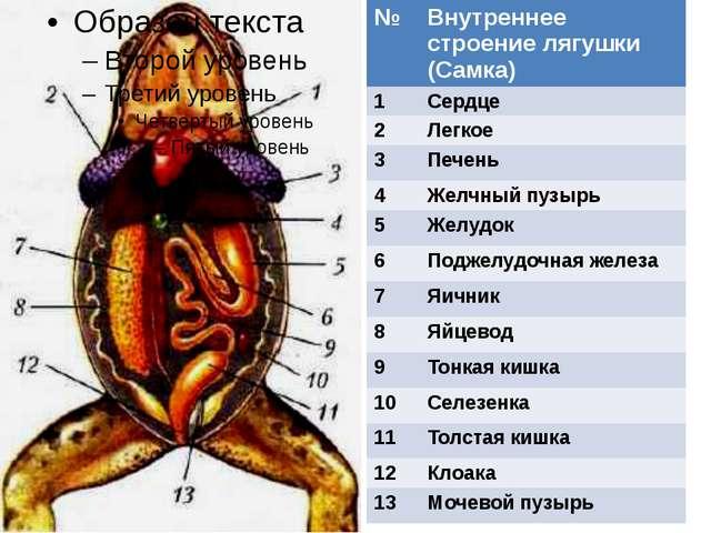 № Внутреннее строение лягушки(Самка) 1 Сердце 2 Легкое 3 Печень 4 Желчный пу...