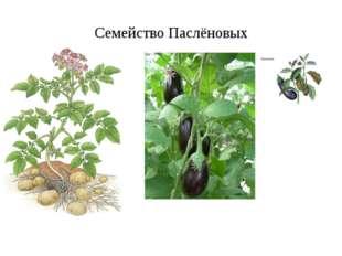 Семейство Паслёновых