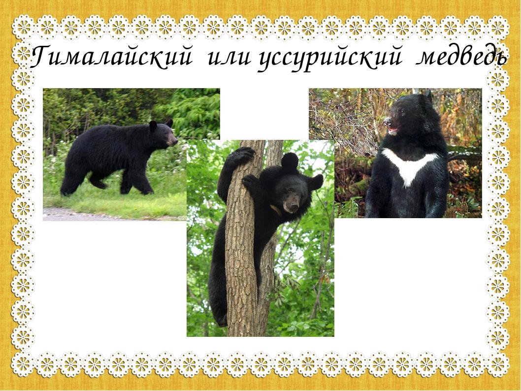 Гималайский или уссурийский медведь