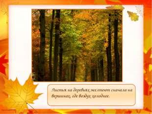 Листья на деревьях желтеют сначала на вершинах, где воздух холоднее. Мусатов