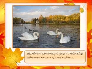 Последними улетают гуси, утки и лебеди. Пока водоемы не замерзли, корма им х