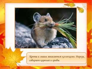 Кроты и мыши запасаются колосками. Барсук собирает коренья и грибы. Мусатова