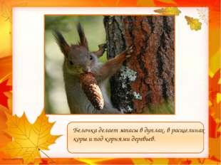 Белочка делает запасы в дуплах, в расщелинах коры и под корнями деревьев. Му