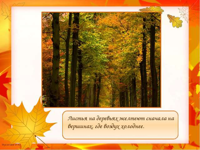 Листья на деревьях желтеют сначала на вершинах, где воздух холоднее. Мусатов...
