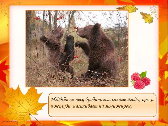 Медведь по лесу бродит, ест спелые ягоды, орехи и желуди, нагуливает на зиму...