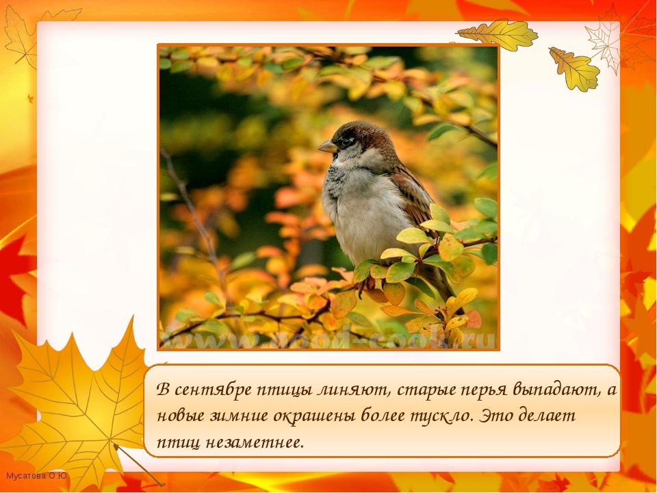 В сентябре птицы линяют, старые перья выпадают, а новые зимние окрашены боле...