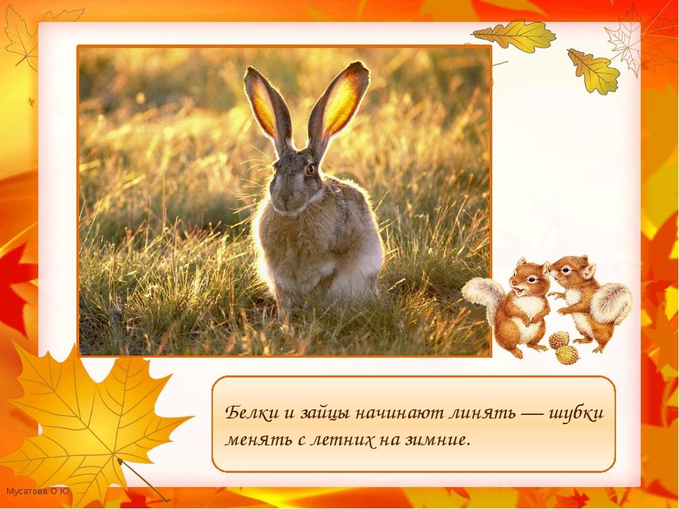 Белки и зайцы начинают линять — шубки менять с летних на зимние. Мусатова О.Ю.