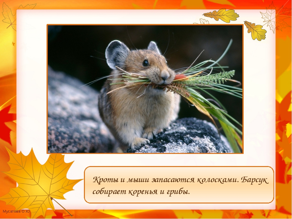 Кроты и мыши запасаются колосками. Барсук собирает коренья и грибы. Мусатова...