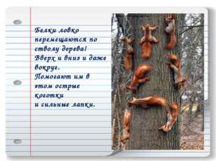 Белки ловко перемещаются по стволу дерева! Вверх и вниз и даже вокруг. Помога