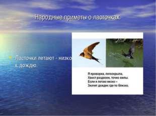 Народные приметы о ласточках. Ласточки летают - низко к дождю.