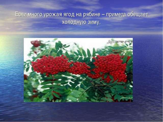 Если много урожая ягод на рябине – примета обещает холодную зиму.