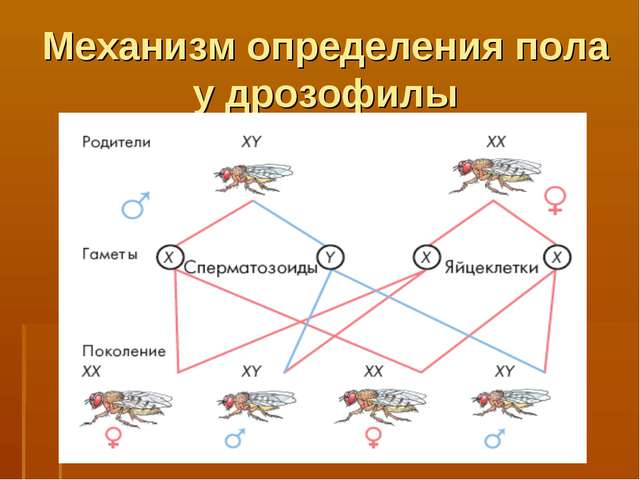 Механизм определения пола у дрозофилы