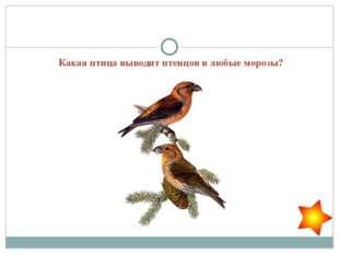 Какая птица выводит птенцов в любые морозы?