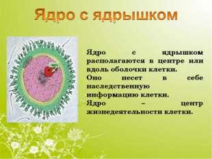 Ядро с ядрышком располагаются в центре или вдоль оболочки клетки. Оно несет в