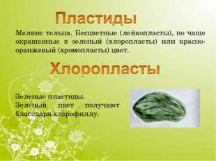 Мелкие тельца. Бесцветные (лейкопласты), но чаще окрашенные в зеленый (хлороп