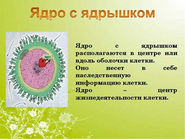 Ядро с ядрышком располагаются в центре или вдоль оболочки клетки. Оно несет в...