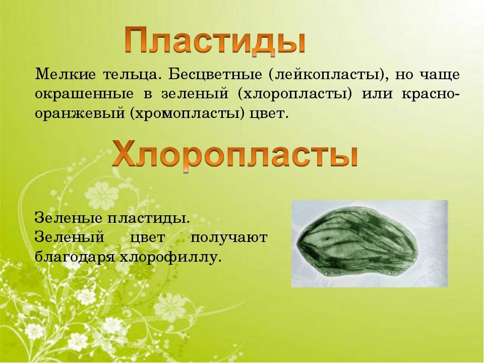Мелкие тельца. Бесцветные (лейкопласты), но чаще окрашенные в зеленый (хлороп...