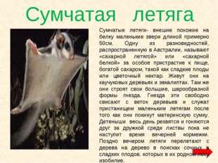 Сумчатая летяга Сумчатые летяги- внешне похожие на белку маленькие звери длин