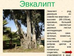 Эвкалипт Эвкалипт – род деревьев из семейства миртовых – высокие (90-155см),