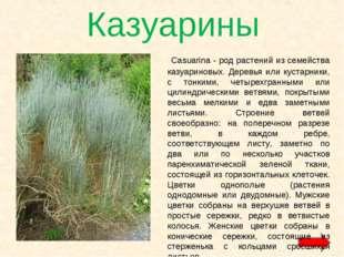 Казуарины Casuarina - род растений из семейства казуариновых. Деревья или кус